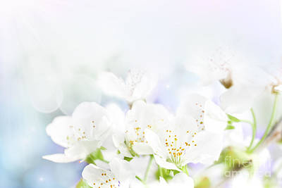 Cherry Flowers Art Print by Mythja  Photography