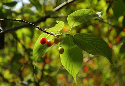 Cherry Original by Li Jian