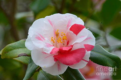 Photograph - Cherry N Cream Camelia by Maria Urso