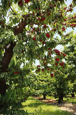 Cherry Orchard  Art Print by Carol Groenen