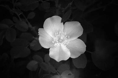Photograph - Cherry Pie Rose - Infrared by Pamela Critchlow