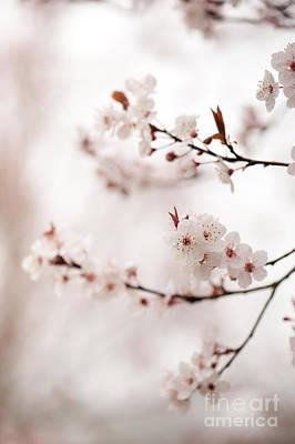 Cherry Plum Blossom Art Print by Anne Gilbert