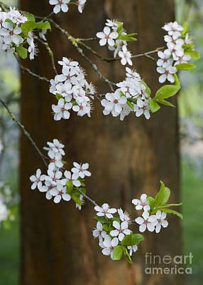 Cherry Plum Tree Blossom Art Print by Tim Gainey