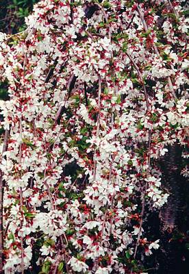 Cherry (prunus 'snow Showers') Art Print by Mrs W D Monks/science Photo Library