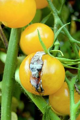 Cherry Tomato Showing Skin Splitting Art Print