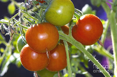 Photograph - Cherry Tomatoes On The Vine by Sharon Talson