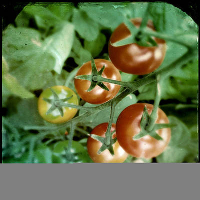 Photograph - Cherry Tomatoes by Tim Nyberg