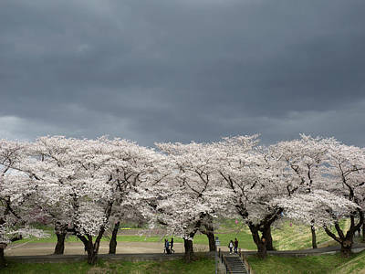 Photograph - Cherry Tree Blossom Against Cloudy by Panoramic Images
