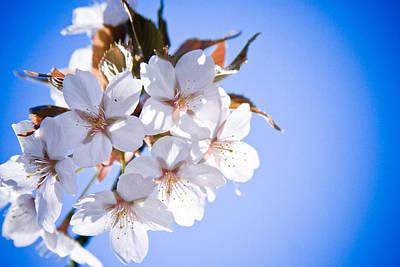 Close Focus Nature Scene Photograph - Cherry Tree Blossoms Close Up by Raimond Klavins