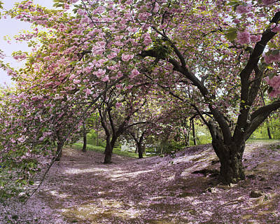 Photograph - Cherry Tree Blossoms Pano by Dave Beckerman