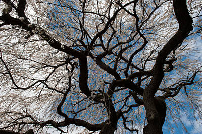 Photograph - Cherry Tree Canope by Keith Swango