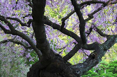 Cherry Tree In Bloom, Portland Japanese Art Print
