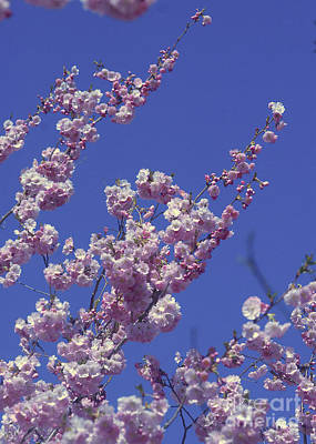 Photograph - Cherry Tree by Rudi Prott