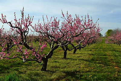 Orchards Photograph - Cherry Trees by Michelle Calkins