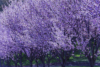 Napa Photograph - Cherry's In Bloom by Garry Gay