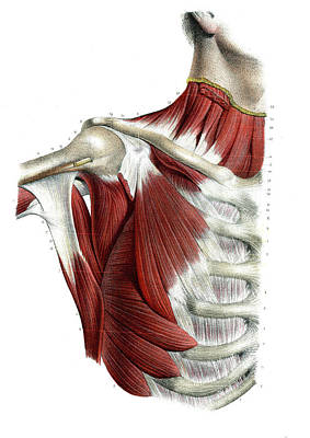 Cage Photograph - Chest And Shoulder Muscles by Collection Abecasis