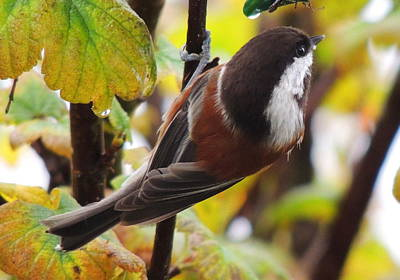Photograph - Chestnut-backed Chickadee by Karen Horn