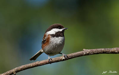 Chestnut Backed Chickadee Perched On A Branch Art Print by Jeff Goulden