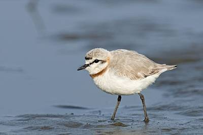 Plover Photograph - Chestnut-banded Plover On Mud Flats by Tony Camacho