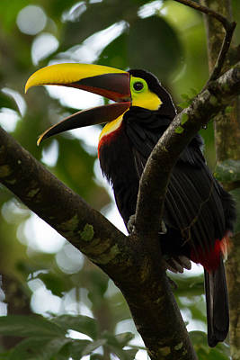 Toucan Photograph - Chestnut Billed Toucan In Costa Rica 2 by Natural Focal Point Photography