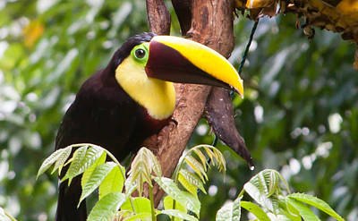 Toucan Photograph - Chestnut Billed Toucan by Natural Focal Point Photography