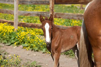 Chestnut Foal Art Print