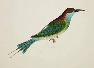Illustration Technique Photograph - Chestnut-headed Bee-eater by British Library