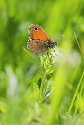Romanian Photograph - Chestnut Heath Butterfly by Bob Gibbons