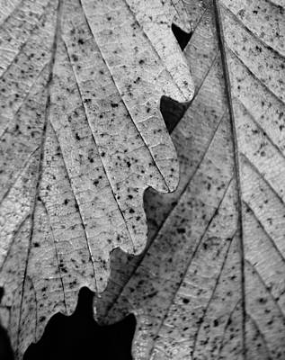 Photograph - Chestnut Oak Leaves by Julie Grandfield