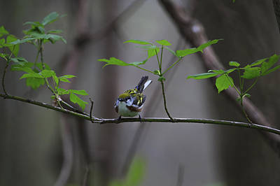 Bird Photograph - Chestnut-sided Warbler by Gary Hall