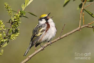 Photograph - Chestnut-sided Warbler by Jim Zipp