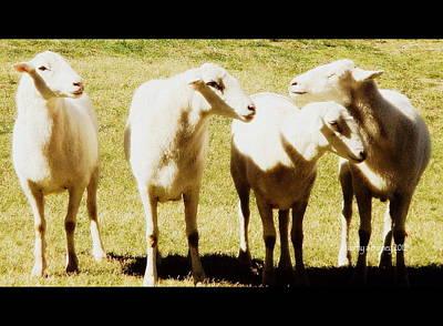 Cheviot Sheep Art Print by Kathy Barney