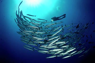 Chevron Barracuda Rise Past A Marine Art Print by David Doubilet
