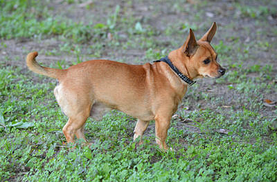 Photograph - Chewy The Chihuahua Dog by rd Erickson