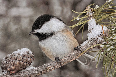 Photograph - Chicadee In Winter by Theo O'Connor