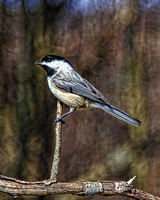 Photograph - Chickadee 1 by John Crothers