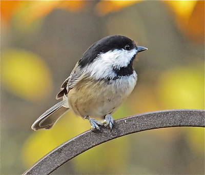 Chickadee 104 Art Print by Patsy Pratt