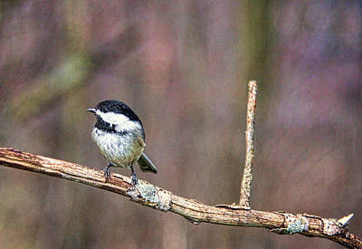 Photograph - Chickadee 5 by John Crothers