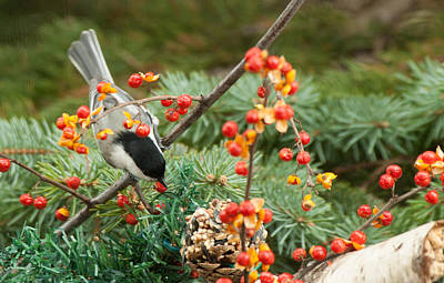 Photograph - Chickadee Berry Picking by Jeff Folger