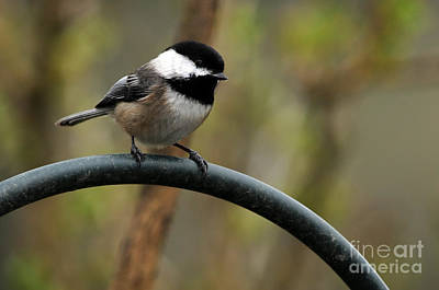 Photograph - Chickadee Black Capped by Laura Mountainspring