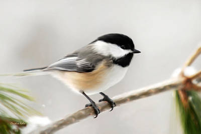 Birds Mixed Media Rights Managed Images - Chickadee Royalty-Free Image by Christina Rollo