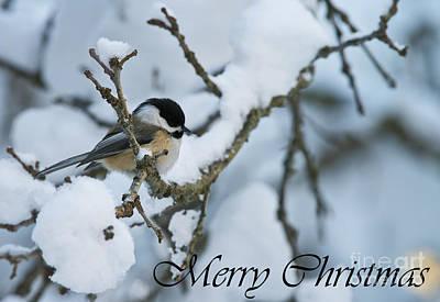 Photograph - Chickadee Christmas Card 1 by Michael Cummings