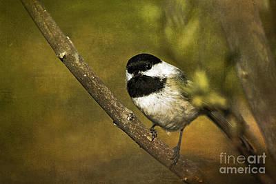 Chickadee Photograph - Chickadee by Cindi Ressler