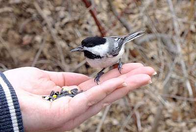 Photograph - Chickadee-dee-dee by Peggy King
