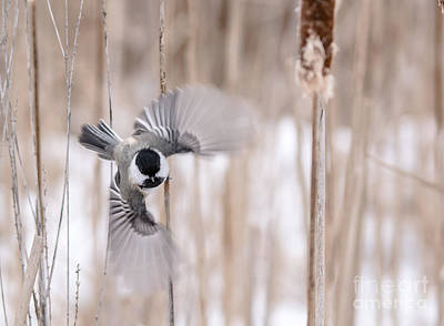 Photograph - Chickadee Flying by Cheryl Baxter