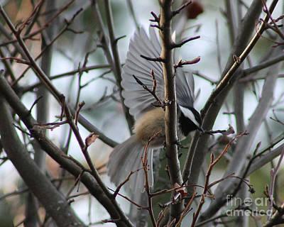 Photograph - Chickadee In Flight by Leone Lund