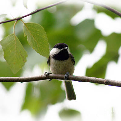 Photograph - Chickadee In Summer  Square by Karen Adams