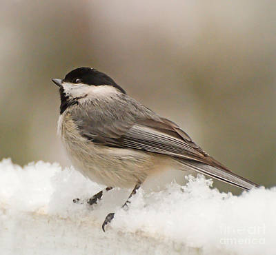 Photograph - Chickadee In The Snow by Kerri Farley