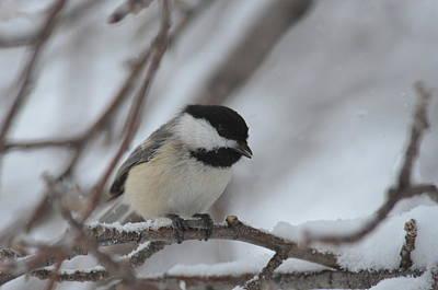 Photograph - Chickadee In Winter by Rae Ann  M Garrett