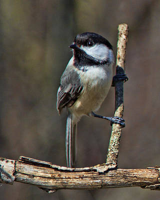 Photograph - Chickadee by John Crothers